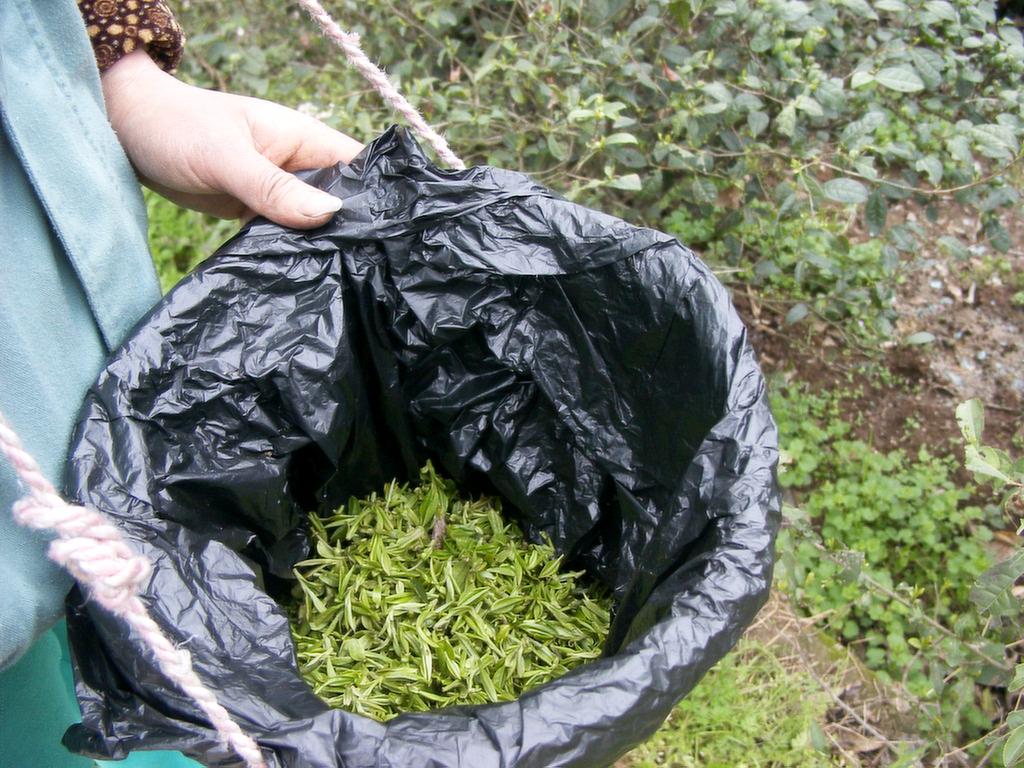 東山の碧螺春、茶摘みの様子