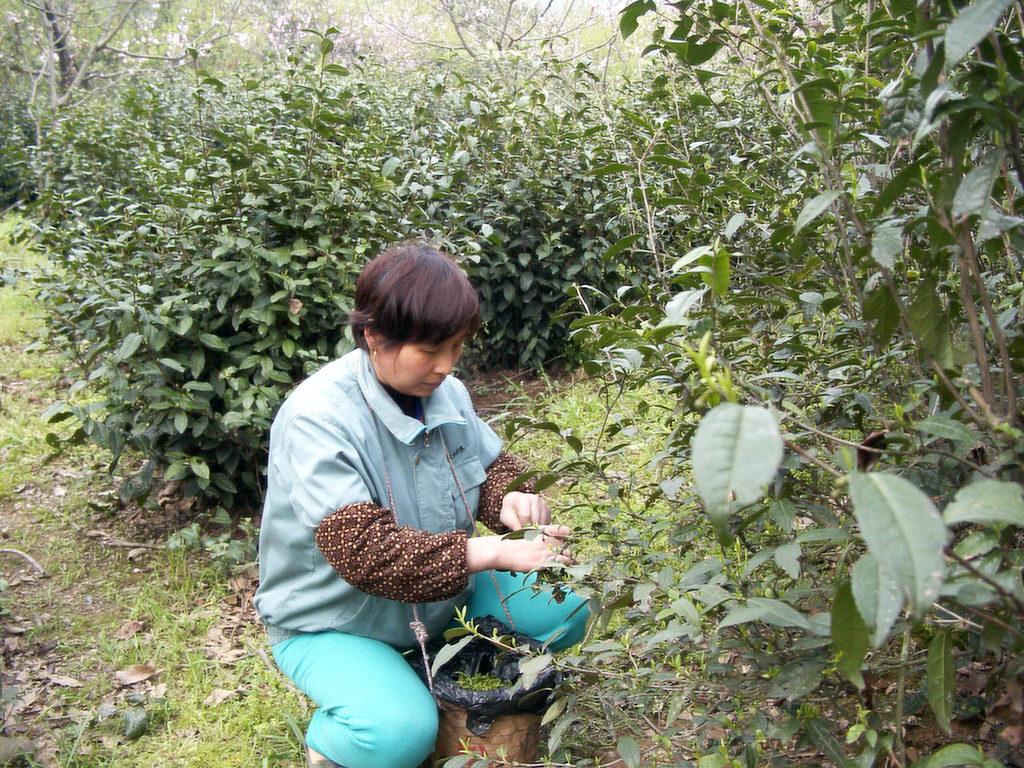 東山の碧螺春、茶摘み