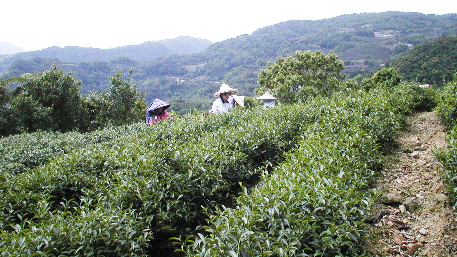 坪林の茶摘み風景
