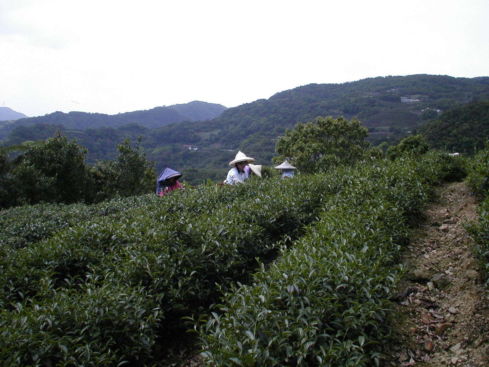 文山の茶畑